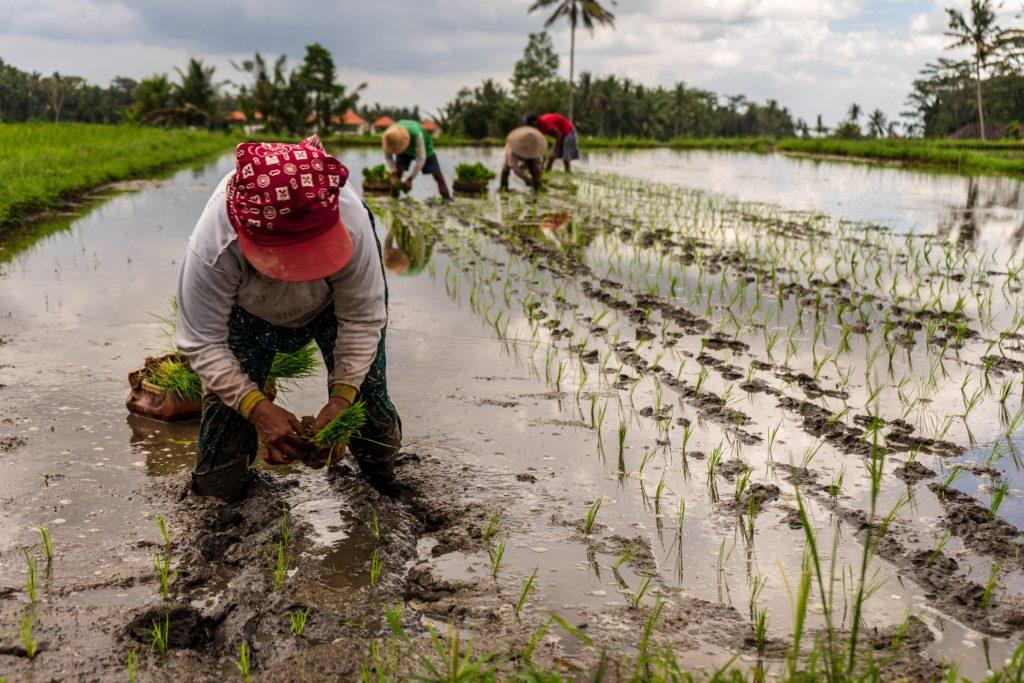 rice field gilbert huongbo contribution